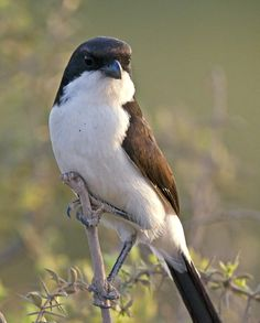 The Long-tailed Fiscal (Lanius cabanisi) is a species of bird in the shrike family Laniidae. The species is closely related to the more widespread Grey-backed Fiscal. It is found in Somalia, Kenya and Tanzania.
