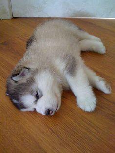 Beautiful Alaskan Malamute Chubby Adorable Dog - 7b5618bfb39a3cbc06f31a5dda931204--alaskan-malamute-puppies-malamute-dog  2018_539798  .jpg