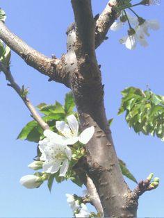 Flor de cereijacereija