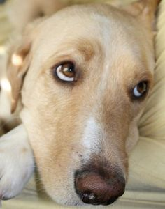 From our i Love Labradors Photo Contest:  Ben is a 4-year-old Lab-Husky mix who was adopted about a year ago.