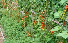 Here is a list of the Oca growing trials I have completed, am running, or plan to run in the future. Unless stated otherwise, all are with . List, Artichoke, Home And Garden, Yard, Gardening, Stuffed Peppers, Fruit, Vegetables, Consideration