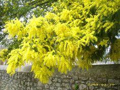 MIMOSA (Acacia dealbata )