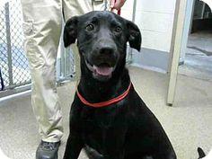 Statesville, NC - Labrador Retriever Mix. Meet KINGSTON, a dog for adoption. http://www.adoptapet.com/pet/13800139-statesville-north-carolina-labrador-retriever-mix