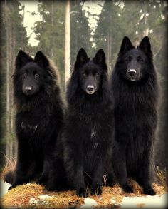 These are Belgian Shepherds - Groenendaels ... the black, long coated variety I WOULD LOVE TO HAVE ONE!~