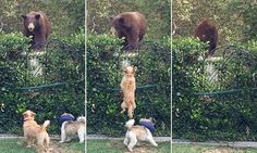 Huge grizzly bear is chased away from family's garden by two pet dogs