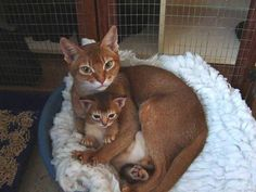 Abyssinian mom and kitten