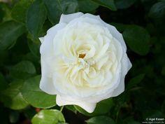 alabaster spray rose - Google Search