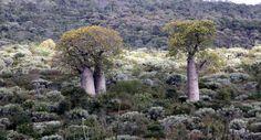 Баобабы - огромные деревья. фото 64