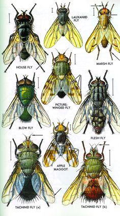 THE MAJOR INSECT ORDERS.  Diptera