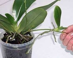 Traggo queste informazioni da questo sito francese molto interessante, dove avevo reperito i suggerimenti di coltivazione delle mie piante....