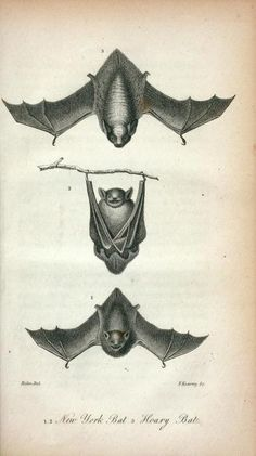 Compendium of Beasts:  1,2 New York Bat; 3 Hoary Bat, 1828 NYPL