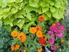 Sweet Potato Vines with Zinnias make a great color spot in warm weather places like Lexington Kentucky