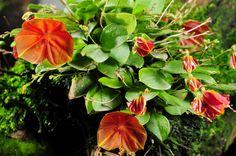 Lepanthes telipogoniflora - habitus | by Nurelias