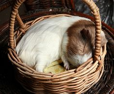 Adorable guinea pig sleeping in a basket. Awww