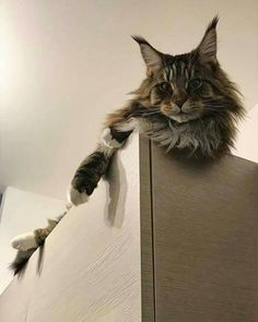 Best of Tabby Cats pictures: Maine Coon Kittens, Cats And Kittens, Ragdoll Cats, I Love Cats, Cool Cats, Beautiful Kittens, F2 Savannah Cat, Dog Facts, Norwegian Forest Cat