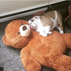 This English Bulldog has naps figured out. www.bullymake.com