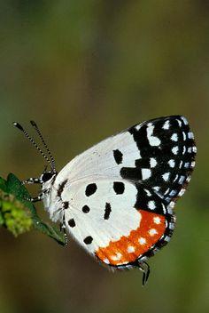 ༺ ʚįɞ Beautiful ༻ :: Red Pierrot Butterfly - Fine Art Print by Anonymous