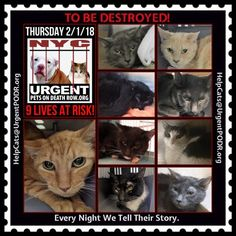 "TO BE DESTROYED 02/01/18 - - Info   Please share View tonight's list here: http:// nyccats.urgentpodr.org/ tbd-cats-page/. The shelter closes at 8pm. Go to the ACC website( http:/www.nycacc.org/ PublicAtRisk.htm) ASAP to adopt a PUBLIC LIST cat (noted with a ""P"" on their profile) a… CLICK HERE FOR ADDITIONAL INFO/P...-  Click for info & Current Status: http://nyccats.urgentpodr.org/to-be-destroyed-32017/"