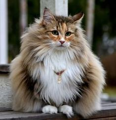 Why buy a Norwegian Forest Cat kitten for sale if you can adopt and save a life? Look at pictures of Norwegian Forest Cat kittens who need a home. Kittens Cutest, Cats And Kittens, Cute Cats, Funny Cats, Norwegian Forest Cat Breeders, How To Cat, Kitten For Sale, Unique Cats, Beautiful Cats