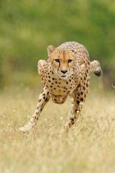 Amazing Cheetah