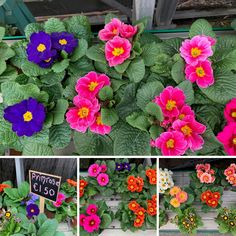 Primroses are perfect for adding a cheerful burst of colour to your garden 🌸 Primroses, Flower Pots, Flowers, Colour, Garden, Plants, Flower Vases, Color, Plant Pots