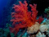 soft coral in the Red Sea