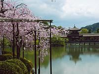 Best cherry blossom spots in Kyoto (Kyoto Hanami Spots) Heian Shrine Mid April  Behind the main building, 600 yen, 8:30 to 17:30 Large numbers of weeping cherry trees (yaebeni shidare) stand in the garden of Heian Shrine, behind the shrine's main buildings, making it one of the best spots to see weeping cherry trees in Kyoto. The trees reach full bloom a few days after the other cherry trees, making it an ideal spot for visitors who miss the main season by a few days.