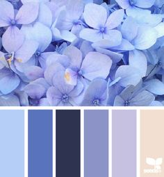 Design Seeds Hydrangea Blues