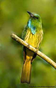 ☀Blue-beared Bee-eater ( Nyctyornis athertoni )