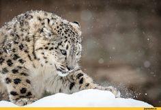 снежный барс,котэ,прикольные картинки с кошками,живность