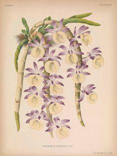 242209 Dendrobium polyanthum Wall. ex Lindl. [as Dendrobium primulinum Lindl.]  / Lindenia, Iconographie des orchidées [E. von Lindemann], Plates 673-720, vol. 15: t. 686 (1899) [P. de Pannemaeker]