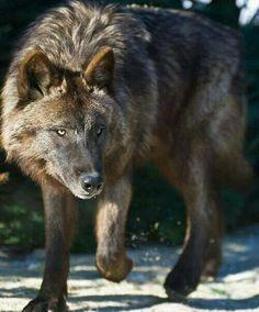 gorgeous black wolf
