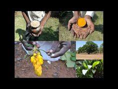 Medicinal Rice P5N Formulations for Ophiopogon Excess: Pankaj Oudhia's M...