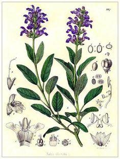 sauge-planche-botanique