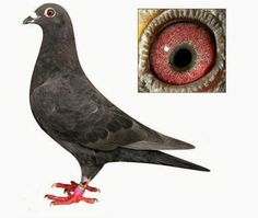 6 Steps to Breed Racing Pigeons Successfully | Pigeons Palace
