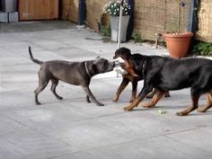 Pitbull Vs Rottweiler Fight - Pitbull Vs Rottweiler Fight 2014