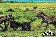 Spotted hyenas are famed scavengers and often dine on the leftovers of other predators. Hyena, Wildlife Photography, Predator, African, Horses, Claws, Fur, Animals, Animales