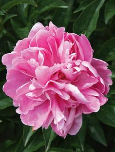 Paeonia 'Lake of Silver' (A. B. Franklin 20) to plant in backyard. #peony
