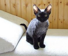 Dream kitty: smoke Devon Rex! OMG this is just what i want! I want a dark cat that is so hypoallergenic!!!!