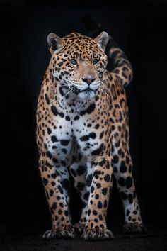 Jaguar by Justin Lo, via 500px