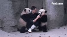 Man Struggles To Give These Two Pandas Their Medicine! This is parenting across all species, lol.