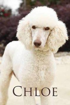 Chloe, Standard Poodle