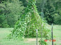 Tipi planted with morning glories, moonflowers, and gourds.