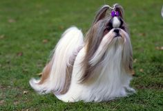 """The Shih-Tzu is known also as the """"Chinese Lion Dog"""" or the """"Lion Dog"""". The name Shih Tzu in Mandarin means 'lion-dog' because the breed was bred to look like traditional Chinese representations of lions. Its personality is very arrogant and regal for a tiny dog. In spite of this, however, Shih Tzus are extremely friendly."""