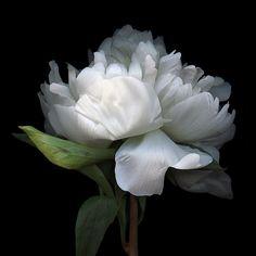 are peonies edible Love Flowers, My Flower, Fresh Flowers, White Flowers, Flower Art, Flower Power, Beautiful Flowers, Midnight Garden, White Peonies