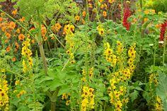 Hardy Cottage Garden Plants: Hardy's Cottage Garden Plants van Hampshire heeft een duizelingwekkend aantal van kruidachtige planten. Op een hoek is een indrukwekkende maar eenvoudige combinatie van Angelica archangelica met Verbascum 'Cotswold Queen', de spitsen van oranje-geel waardoor een groot contrast.