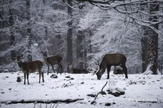 A stag red deer grazes through this winter's first snowfall with a few females nearby in the Betzenberg Wildlife Park in Kaiserslautern, Germany, Dec. 3, 2014. (Joshua L. DeMotts/Stars and Stripes) #Germany #wildlife #stag #deer #winter #snow #wildlifeinsnow