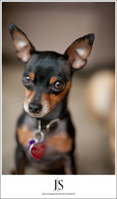 My wittle boy Bentley <3 he's a miniature pinscher. (awwww I bet Lucky will look like this but littler!)