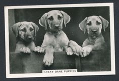 Great Dane Puppies from series Dogs by Senior Service Cigarettes card #39