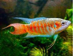 Red & Blue Paradise Gourami Fish, Macropodus opercularis | Arizona Aquatic Gardens